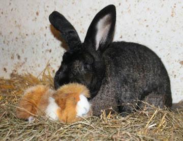 Cochon d'Inde contre lapin