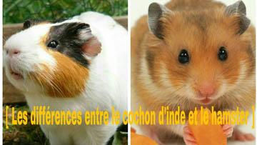 Hamster vs cochon d'Inde
